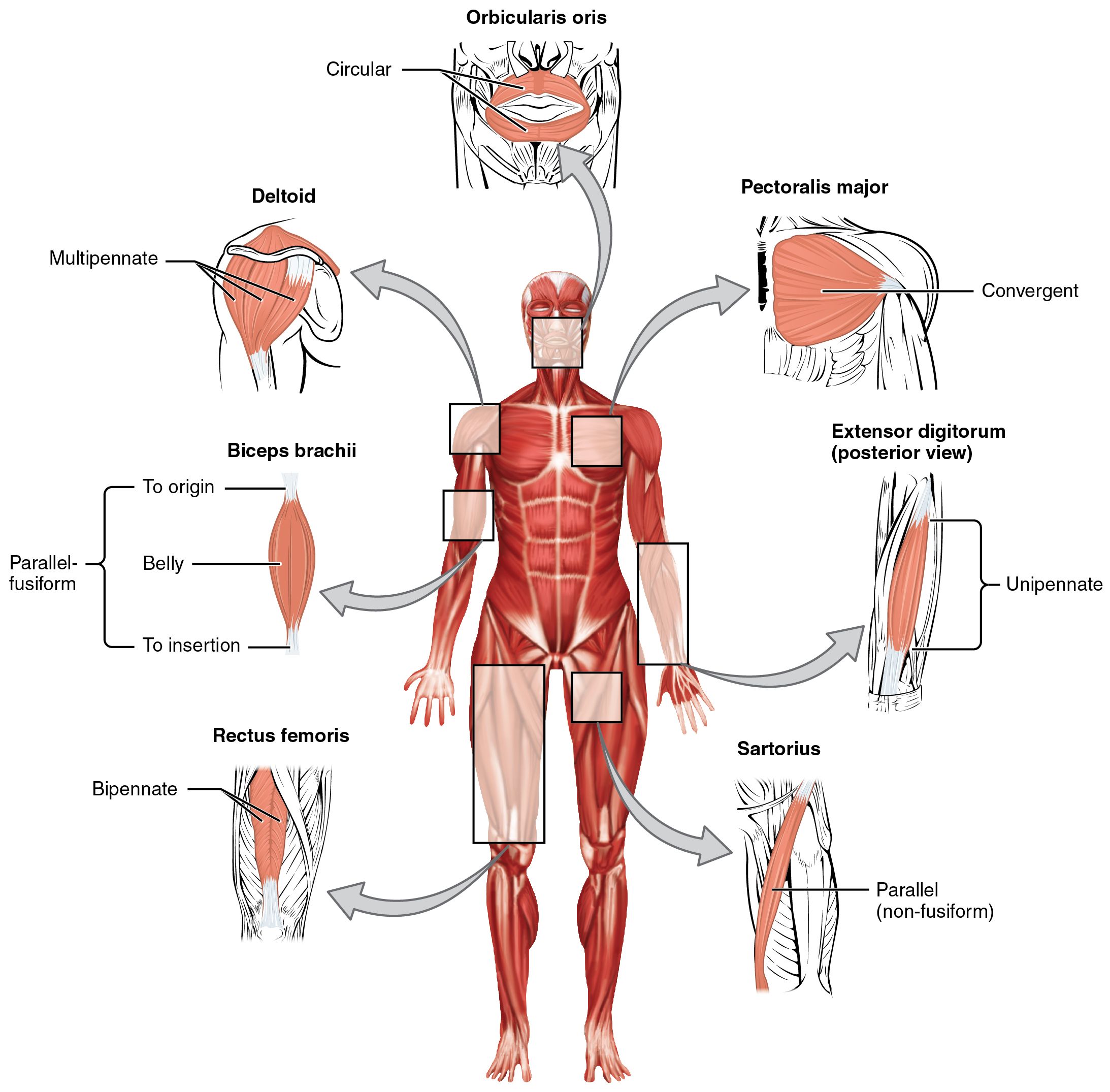 Muscle re education neurocare muscles muscle re education pooptronica